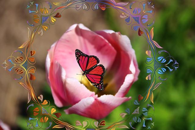 Toronto Ontario ~ Canada ~ Edwards Gardens ~ Botanical Garden ~ Pink  Tulips -  Butterfly