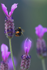 Lavender to bee