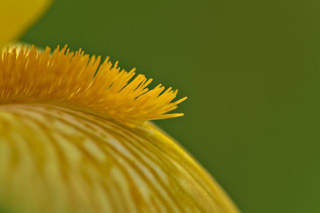 Yellow Iris Detail