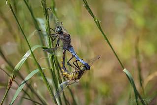 Paarung vom Großen Blaupfeil (Orthetrum cancellatum)