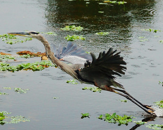 Great Blue Heron on Takeoff | by pbcbob2