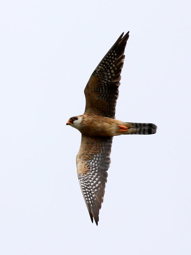 Red-footed Falcon (Falco vespertinus), female