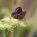Morena serrana (Aricia artaxerxes)