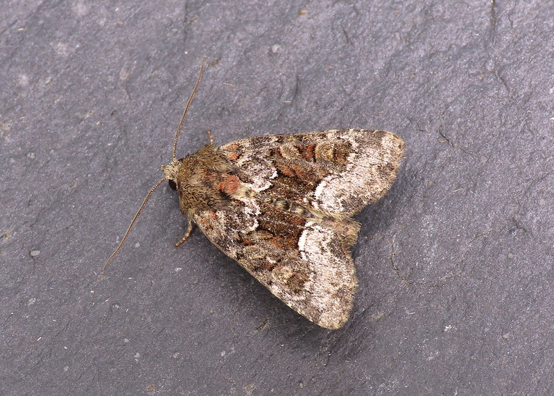 73.173x Marbled Minor agg. - Oligia strigilis agg.