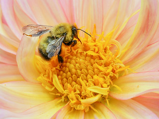 Bumblebee visits a Dahlia  at Tower  Hill Botanic Garden, Boylston, MA.