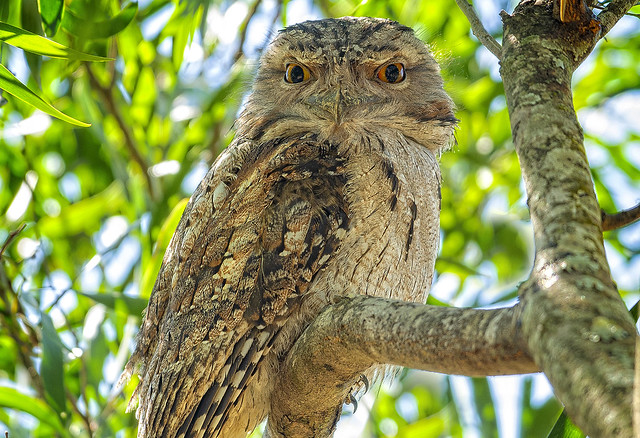 in the shadows - a tawny frogmouth