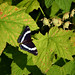 Flickr photo 'White Admiral' by: pchgorman.