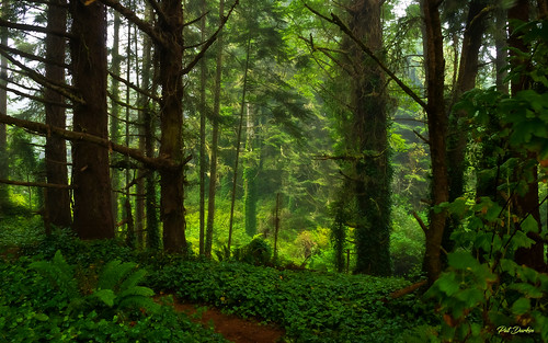 In the Woods at Trinidad, California -