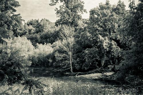 A Tree Dies in The Marsh