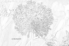 Allium Pencil Drawing 9852
