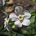 "<p><a href=""https://www.flickr.com/people/treeperson/"">podicep</a> posted a photo:</p>  <p><a href=""https://www.flickr.com/photos/treeperson/48276855651/"" title=""Hackelia bella flowers - Greater showy stickseed""><img src=""https://live.staticflickr.com/65535/48276855651_2333797520_m.jpg"" width=""240"" height=""239"" alt=""Hackelia bella flowers - Greater showy stickseed"" /></a></p>  <p>Mount Shasta</p>"