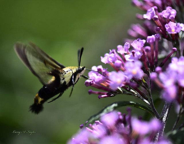 Hummingbird Moth the adult form of the nortorious Tomato Hornworm. Photographed on Tennessee's Cumberland Plateau