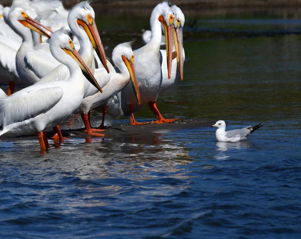 American White Pelican ?????