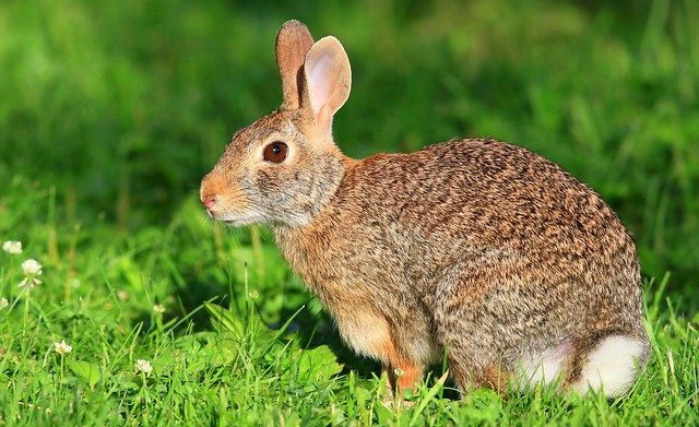 eastern cottontail at Lake Meyer Park IA 653A2142