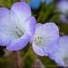 Phacelia douglasii, 4.1.19