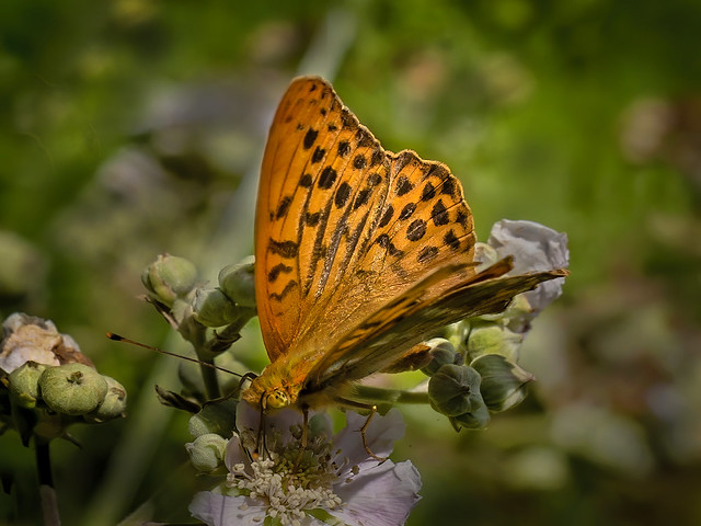 Silver Washed Fritillary Argynnis paphi