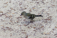 Common chaffinch, female
