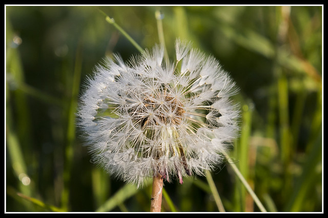 IMG_0041 Dandelion Seedhead
