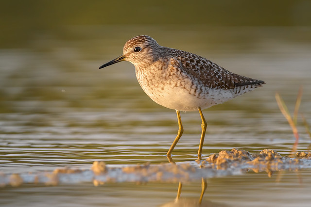 At sunset / Wood Sandpiper