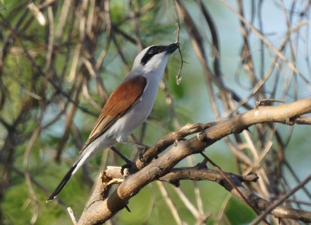Red-backed Shrike, Lanius collurio, Oбыкновенный жулан