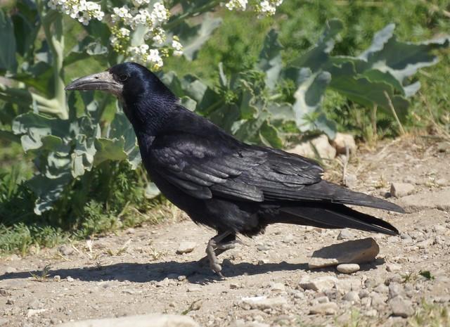 Rook, Corvus frugilegus, Грач