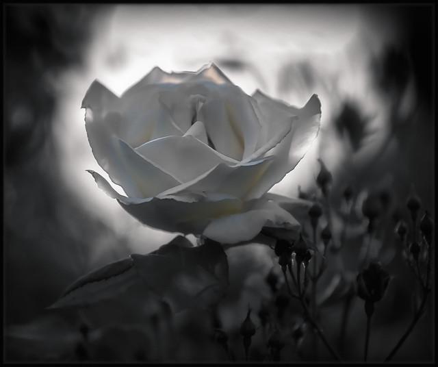 White Monochrome Rose