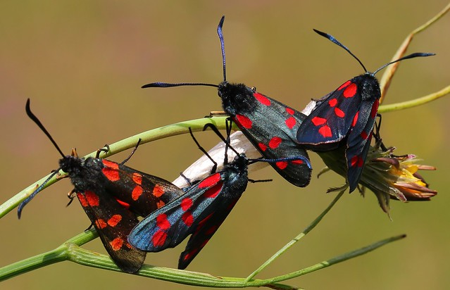 Six Spot Burnet (Mating) 110719 (8)
