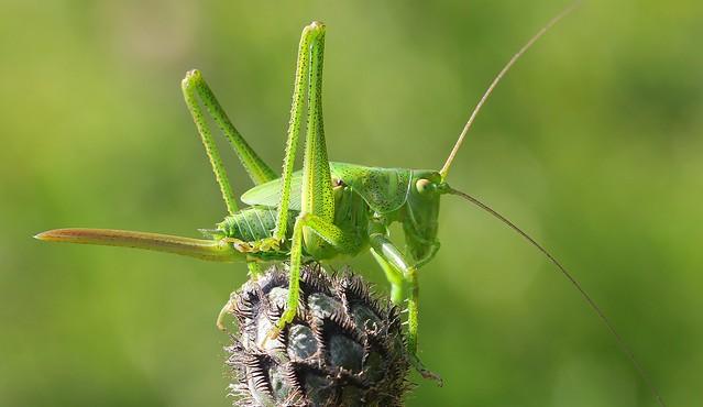 Great Green Bush-cricket (Tettigonia viridissima) 270619
