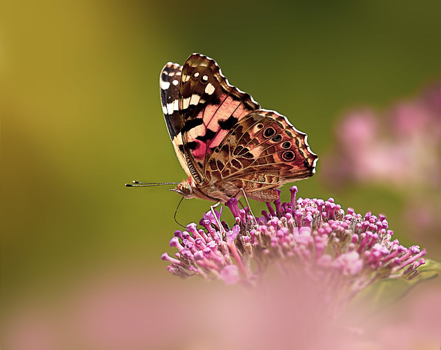 Painted lady enjoys the nectar of a lilac