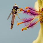Di, 09.07.19 - 09:52 - hoverfly Verbascum nigrum black mullein