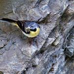 Fr, 12.07.19 - 13:10 - Bergstelze Motacilla cinerea Grey Wagtail  Gesehen in der Rosenlaui-Schlucht