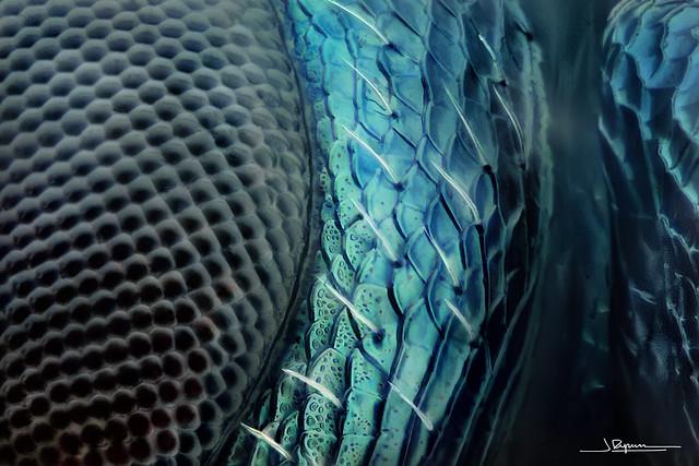 Pteromalidae 44x [Explore #290 2019-07-15]