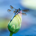 Blue Dasher and Lotus (20190713-DSC03966)