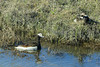 Long-tailed Duck, Oldsquaw (Clangula hyemalis)