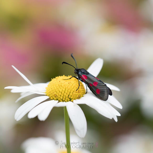 Five-spot burnet moth on ox-eye daisy