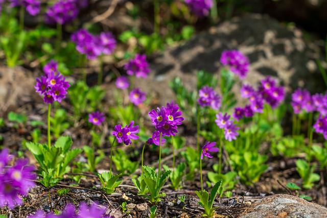 雪渓沿いの岩場に咲くミチノクコザクラ