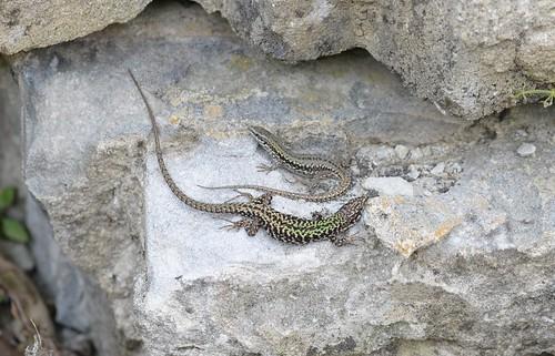 Wall Lizards (Podarcis muralis) - pair