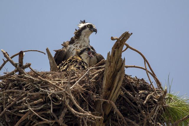 Adult and Juvenile Osprey