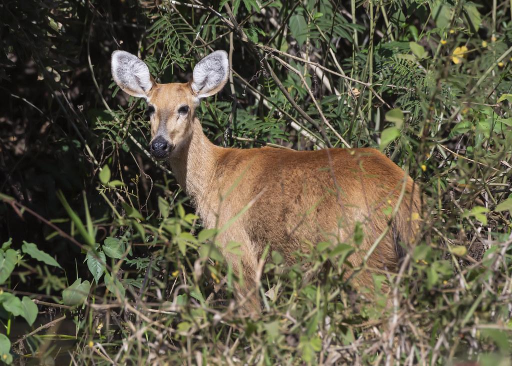 Cervo do Pantanal, Marsh Deer (Blastocerus dichotomus) - Female