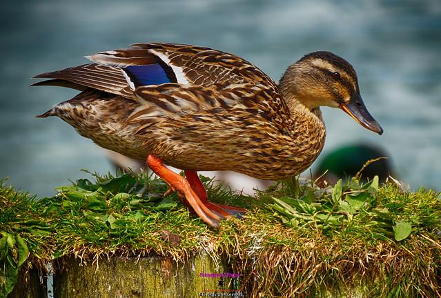 Quack Quack looking for food at Corbett