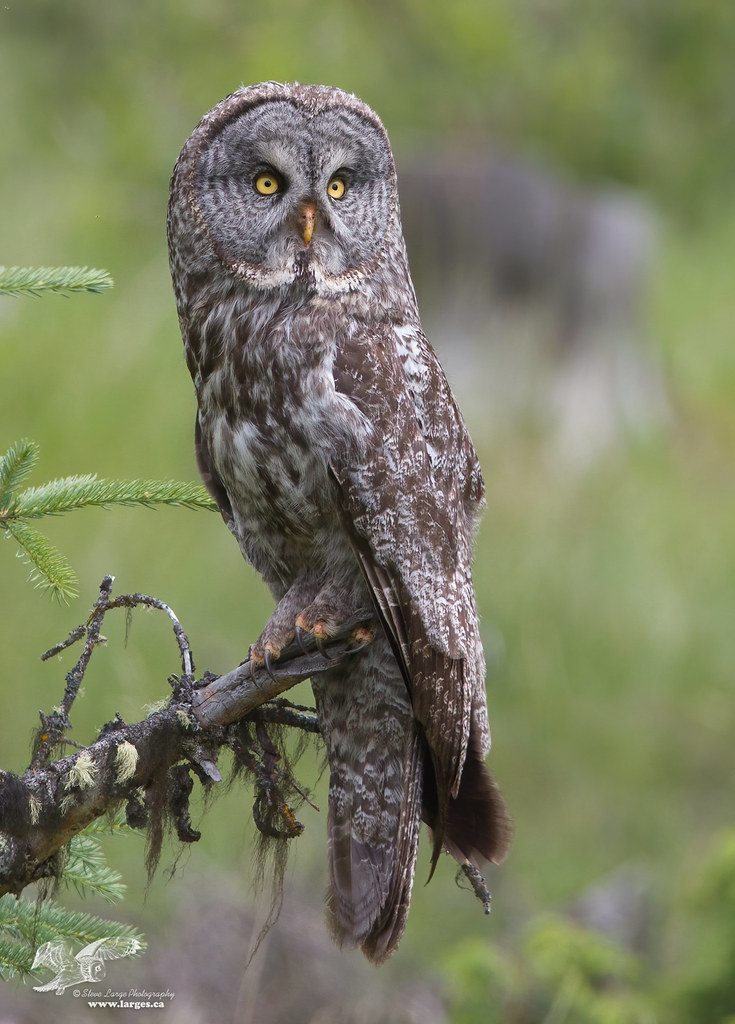 Where Are You? (Great Grey Owl)