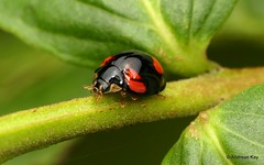 Lady Beetle, Cheilomenes sexmaculata, Coccinellidae