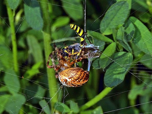 Kreuzspinne wickelt ihren Fang ein. - Spider wraps her catch!