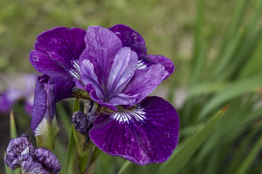 Ирис пурпурный