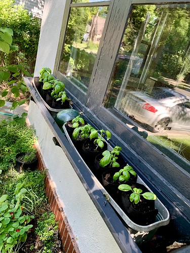 Window-box basil