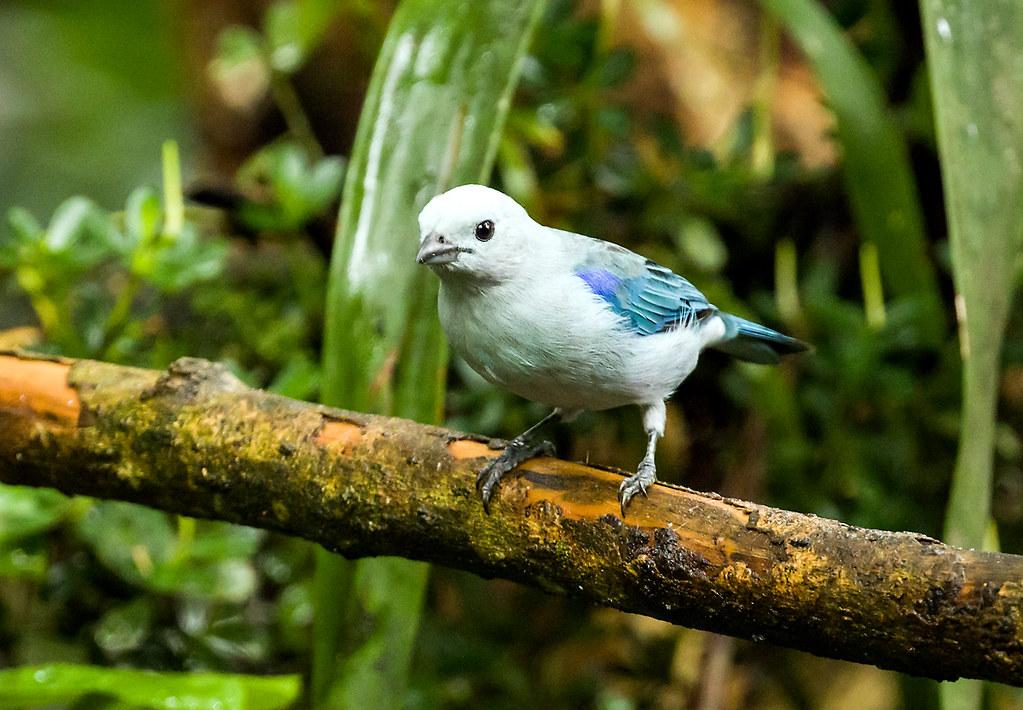 0P7A2528  Blue-gray Tanager, Ecuador