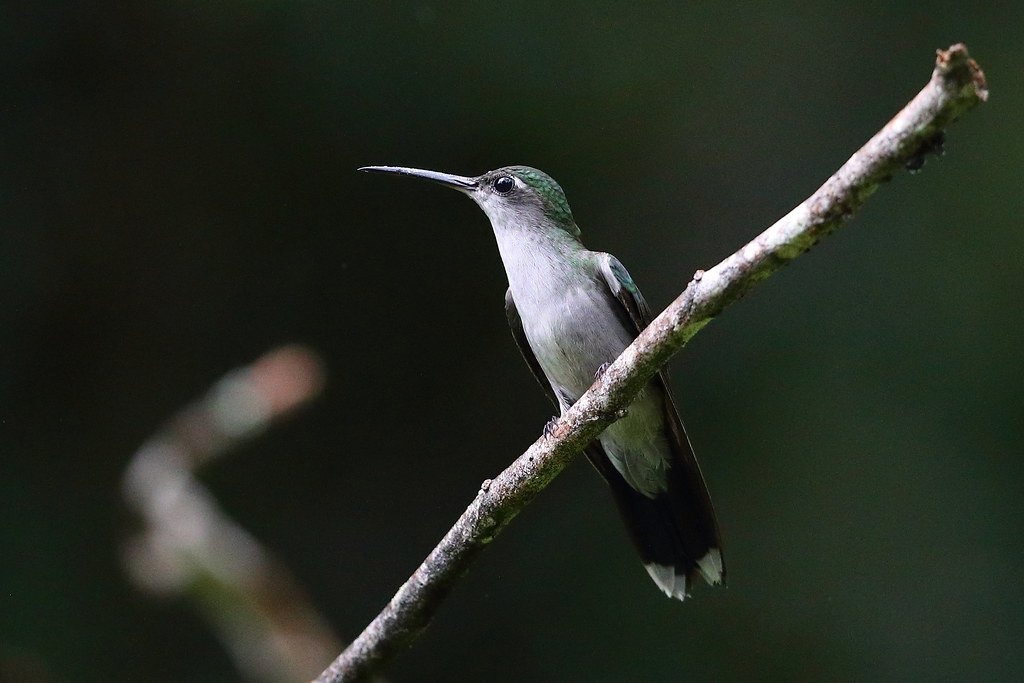 Grey-breasted Sabrewing
