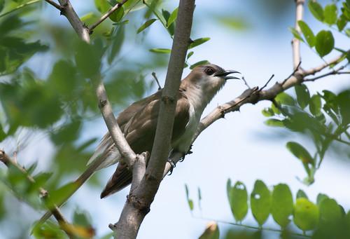 cuckoo blackbilledcuckoo albemarle birdwatching bird birding birder birds wildlife nature outdoor outdoors outside animal creature nikon nikond500