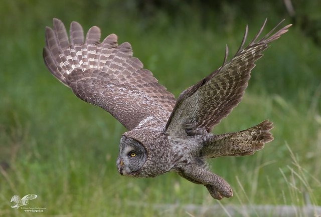 Great Grey in Flight (Great Greay Owl)