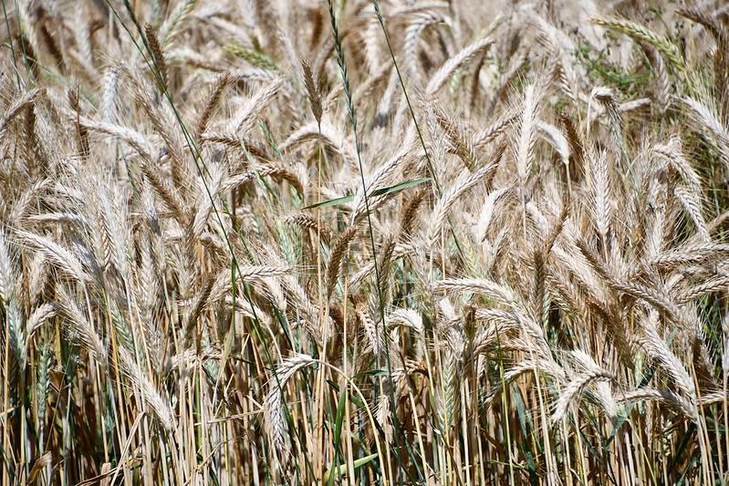 Wheat crop 14.07.2019